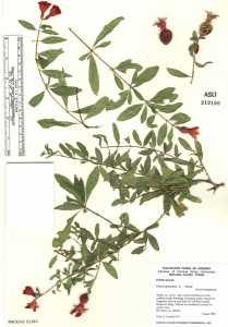 Image of Punica granatum