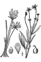 Image of Ranunculus pedatifidus