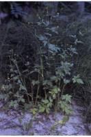 Image of Ranunculus pensylvanicus