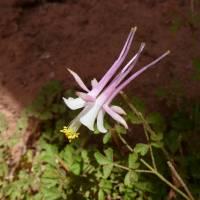 Image of Aquilegia micrantha