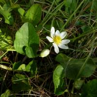 Image of Caltha leptosepala