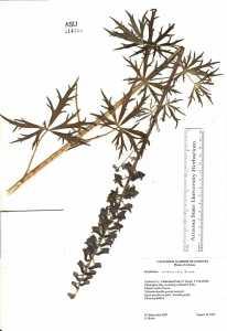 Image of Delphinium andesicola