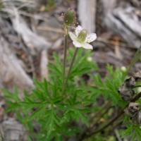 Image of Anemone cylindrica