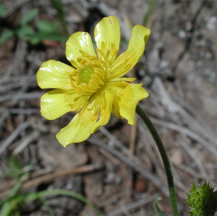 Ranunculus cardiophyllus image