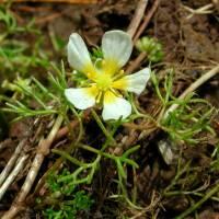 Image of Ranunculus trichophyllus