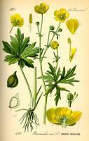 Image of Ranunculus acris