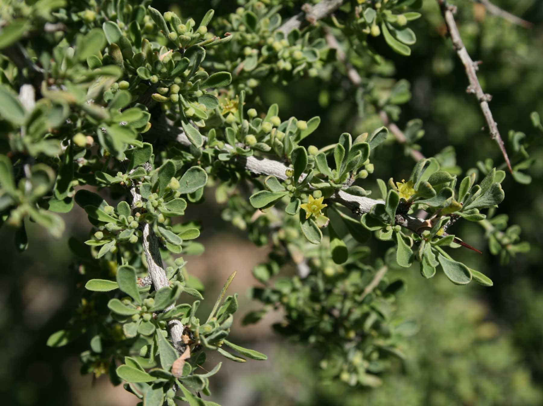 Rhamnaceae image
