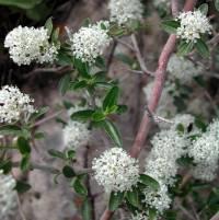 Image of Ceanothus fendleri