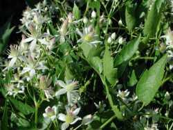 Image of Clematis ligusticifolia
