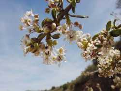 Image of Ceanothus greggii