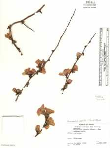 Image of Chaenomeles japonica