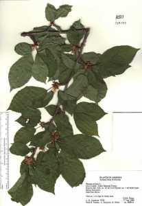 Image of Prunus avium