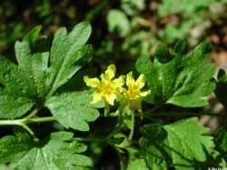 Image of Ivesia arizonica