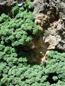 Petrophyton caespitosum image