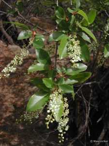 Image of Prunus serotina