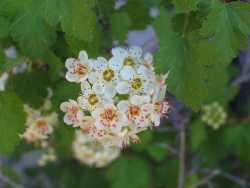 Image of Physocarpus monogynus