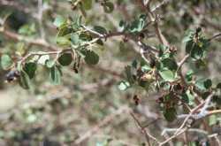 Image of Amelanchier utahensis