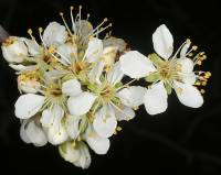 Image of Prunus americana