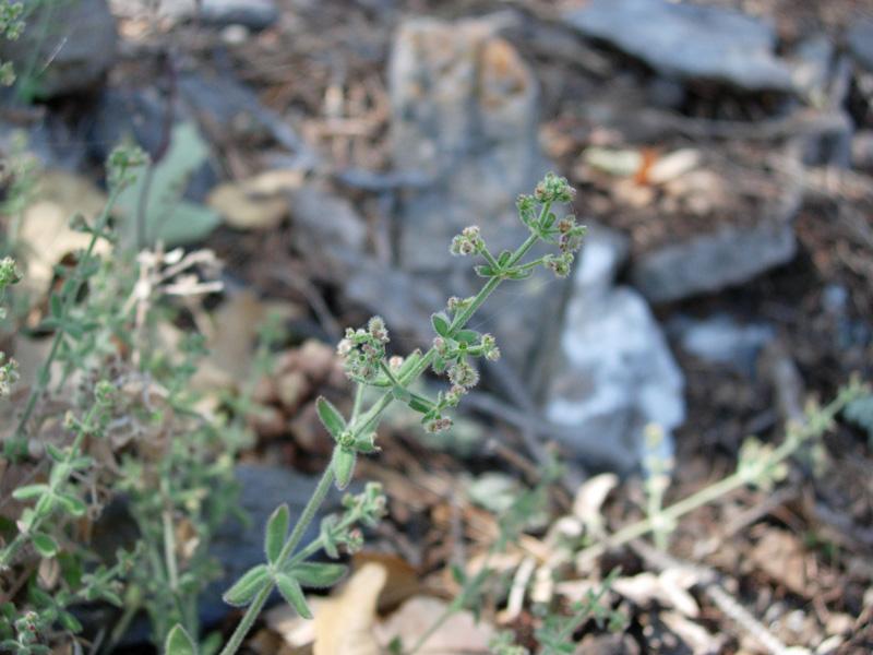 Rubiaceae image