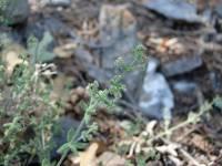 Image of Galium uncinulatum