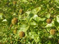 Cephalanthus occidentalis image