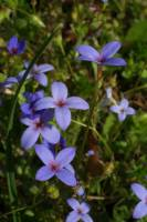 Image of Hedyotis crassifolia