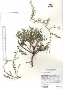 Image of Galium collomiae