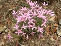 Image of Houstonia rubra