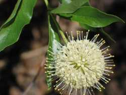 Image of Cephalanthus occidentalis