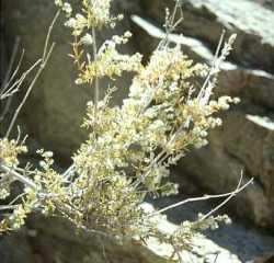 Image of Galium stellatum