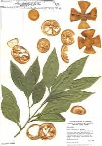 Image of Citrus aurantium