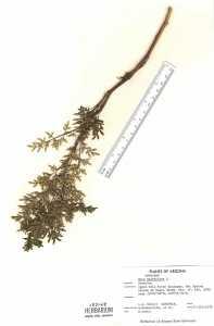 Image of Ruta graveolens