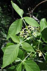 Image of Ptelea trifoliata