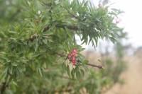 Fuchsia lycioides image