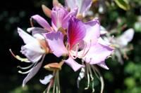 Image of Bauhinia variegata