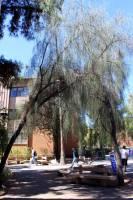 Image of Acacia stenophylla