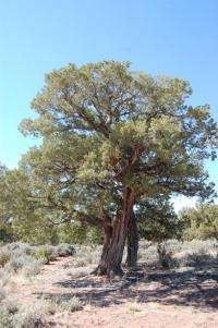 Juniperus osteosperma image