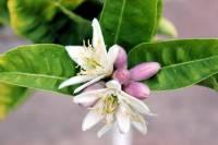 Image of Citrus medica