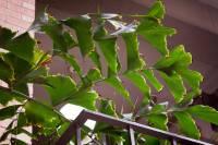 Image of Caryota mitis