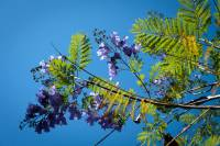 Image of Jacaranda mimosifolia