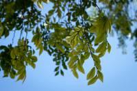 Image of Ulmus parvifolia