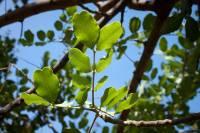 Image of Ceratonia siliqua
