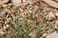 Image of Lotus utahensis