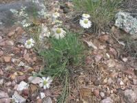 Erigeron concinnus var. subglaber image