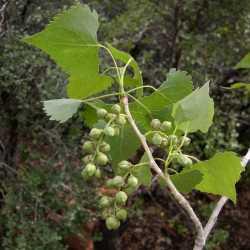 Image of Populus fremontii