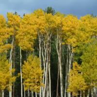 Image of Populus tremuloides