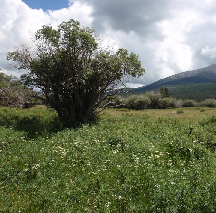 Salicaceae image
