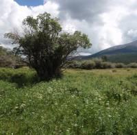Image of Salix bebbiana