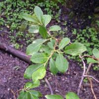 Image of Salix scouleriana