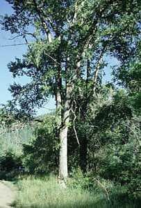 Image of Populus angustifolia